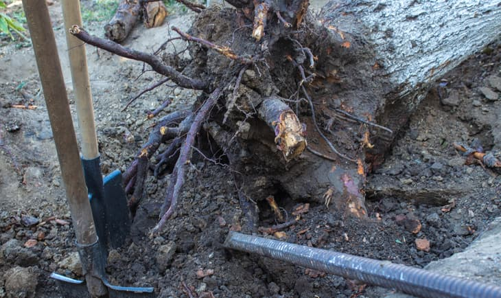 Exposed roots from a downed tree after performing stump removal services from Stump Grinding Indianapolis